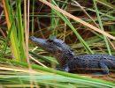 alligator-588000_1920